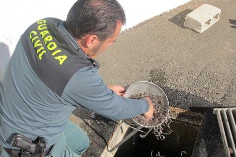 Un agente muestra los ejemplares de angula recuperados.