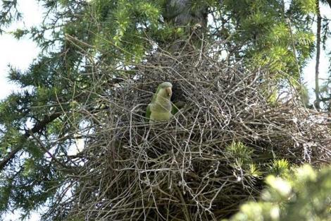 Cotorras argentinas en su nido en un parque de Madrid. | EM