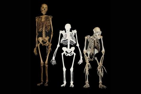 Reconstrucción de A. sediba junto a un esqueleto humano y otro de chimpancé. | L. Berger