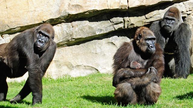 Una hembra de gorila protege a su cría, escoltada por dos machos. | Bioparc Valencia