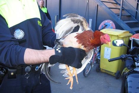 Un agente de policía con un gallo intervenido en una riña clandestina.