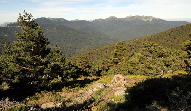 Imagen del pinar de Valsaín
