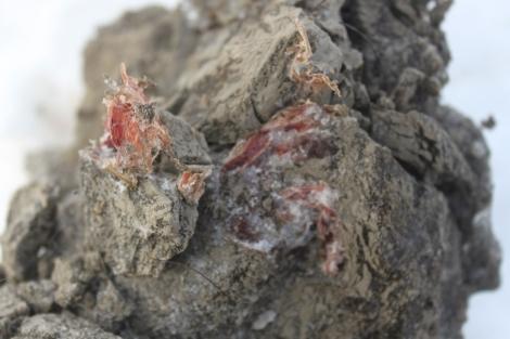 Muestra de tejidos musculares de mamut hallado en Rusia.   AFP