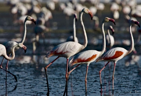 Flamencos en la Laguna de Fuente de Piedra. | Efe