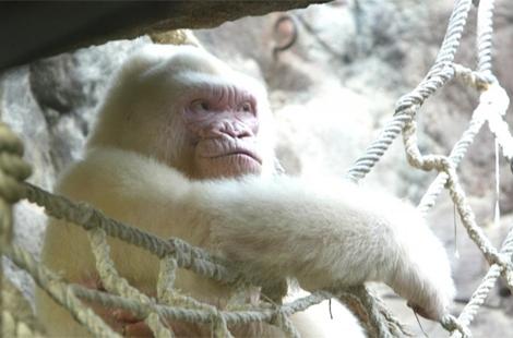 El gorila albino 'Copito de Nieve' en el Zoo de Barcelona. | EM
