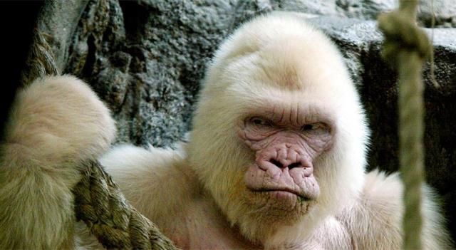 El gorila albino 'Copito de nieve' en el zoo de Barcelona. | AFP