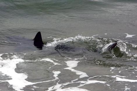 Tiburón avistado en una playa de Tarragona.  EFE/Jaume Sellart