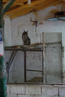 Un lince en un gallinero.| Germán Garrote