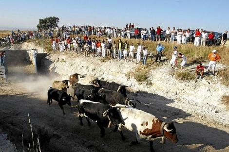 Encierro de reses bravas por el campo en Iscar. | Pablo Requejo