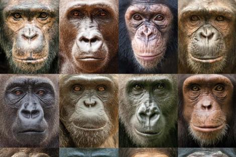 Retratos de gorilas y chimpancés. | Ian Bickerstaff