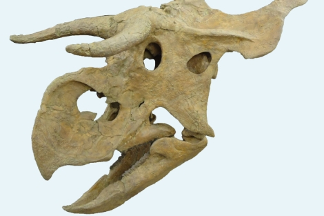 Cráneo del 'Nasutoceratops titusi'.   Rob Gaston