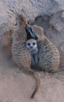 La mayor parte de las suricatas tienen una sola pareja en su vida.| Dieter Lukas