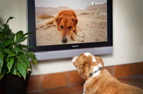 Un perro viendo el nuevo canal de televisión. | Foto: DogTV