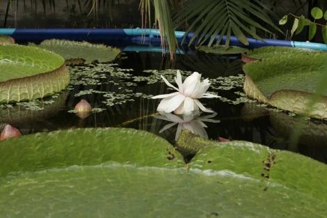 Su flor sólo durará dos días.| Rosa González Vean más fotos