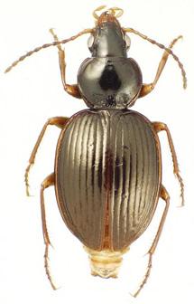 'Mecyclothorax ramagei', una nueva especie. | James K. Liebherr