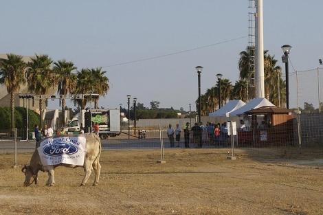 La vaca 'Campanera', en la parcela del concurso de Cartaya.   Efe