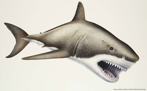 Recreación del aspecto del tiburón megalodón.|Museo de Historia Natural de San Diego.
