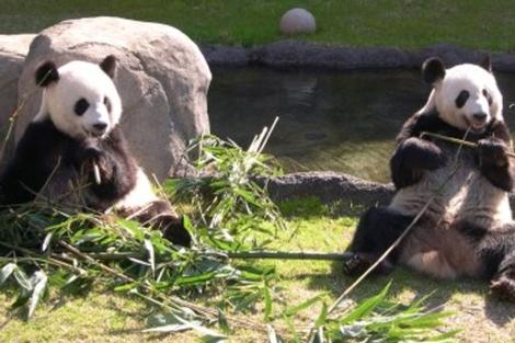 Excremento de panda para producir biocombustible | Natura | elmundo.es