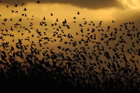 Los estorninos están entre los pájaros que captan mayor información. | P. Vicens