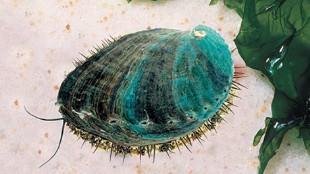 Ni angulas, ni percebes. Éste es el molusco más caro del mundo