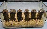 Los ratoncitos protagonistas del experimento (Foto: Caron)