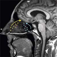 Los puntos amarillos señalan la distribución y dirección ideal de los olores vía ortonasal (nariz) y las azules hacen referencia a los olores captados vía retronasal (boca). (Foto: Small   Neuron)