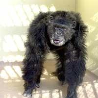 Las muestras de sangre del chimpancé Clint son las que han utilizado los científicos para secuenciar el genoma. (Foto: 'Nature')