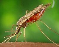 Mosquito 'Anopheles', trasmisor del parásito causante de la malaria (Foto: CDC)