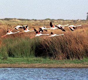 Flamencos sobrevolando las marismas de Doñana (Foto: EFE)