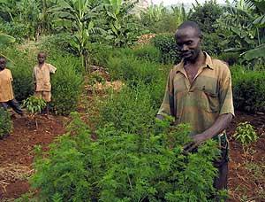 Un agricultor keniano muestra la planta de artemisina, de la que extrae el artesunato (Foto: EFE)