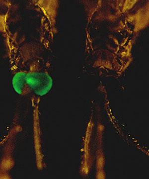 Imagen de un mosquito transgénico, con los ojos verdes (Foto: PNAS)