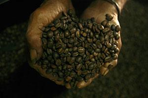 Un trabajador timorense muestra granos de café en una fábrica de Dili. (Foto: REUTERS)