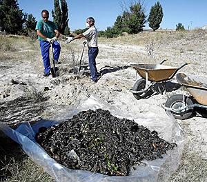 Dos hombres retiran cientos de cadáveres de topillos (Foto: Pablo Requejo)