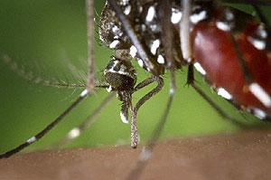 El mosquito tigre (Foto: CDC)