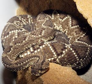 Serpiente cascabel. (Foto: Diego Sinova)