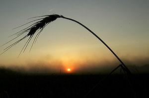 Campo de trigo en EEUU. (Foto: Charlie Riedel | AP)