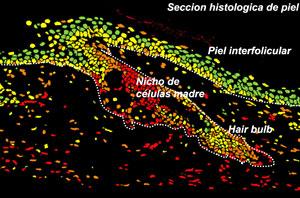 La imagen muestra un Telomap de la piel de un ratón. (Foto: CNIO)