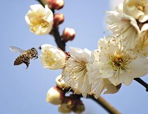 Una abeja vuela alrededor de unas flores. (AFP)