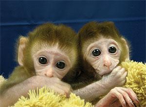 Imagen de los monos transgénicos. En la ampliación pueden verse, al ser iluminados, de color verde por haberles inoculado una proteína fluorescente. (Foto: 'Nature')
