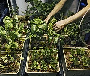 Cultivo de plantas de cáñamo. (Foto: Álvaro Barrientos | AP)