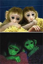 Monos fluorescentes tras haberles inoculado la GFP. (Foto: Nature)