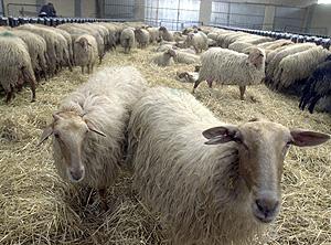 Ovejas Y Cabras Podrían Transmitir También El Mal De Las Vacas