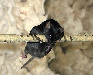 Los animales fueron sometidos a pruebas de coordinación neuromuscular (Foto: Cell 2008)