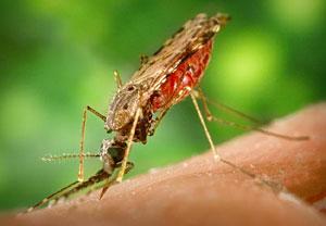 Mosquito anopheles. (Foto: CDC)