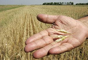 El trigo es uno de los cereales que contienen gluten. (Foto: REUTERS)