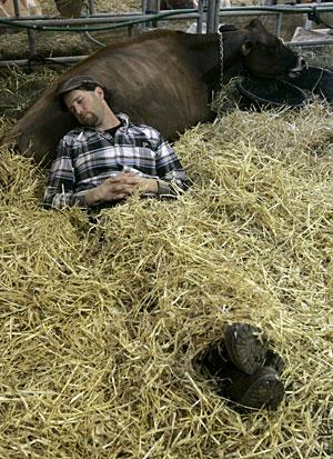Un granjero descansa sobre una de sus vacas en Pensilvania. (Foto: Chris Gardner | EFE)