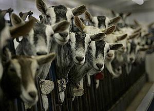 Cabras transgénicas de las que han obtenido el fármaco. (Foto: Suzanne Kreiter | AP)