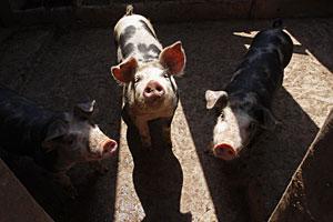 Cerdos en una granja en las afueras de Ciudad de México.   AP