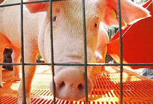 Un cerdo en una granja de Perú. (Foto: Enrique Castro-Mendivil | EFE)