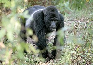 Un gorila en un bosque de Uganda. (Foto: Reuters)